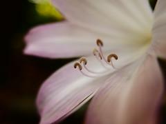 Flor (jantoniojess) Tags: flores flor flower pistilo estambres petal pétalos macro panasoniclumixlx100 villaonuba fuenteheridos huelva andalucía españa naturaleza bokeh jardín jardínbotánico