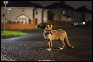 Urban red fox