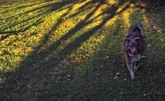 Golden Light & Shadows (One Day Of Sun -- It's So Lovely!!!) Tags: ddc golden 2178 shizandra inthebackyard light shadows gold playing ball