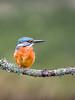 Kingfisher (640 of 677) (graemecave) Tags: kingfisher canon canon5dmk111 bird birds fish colours canontest 100400l leeds yorkshire england blue exposure green mk111 uk portrait river water exposur zz