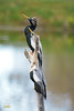 ANHINGA BREEDING RITUAL (concep1941) Tags: birds freshwatermarshes swamps rivers