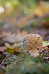 Amanita. (Lagier01) Tags: micologia nature setas bosque macro mushrooms