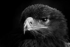 Aquila rapax (F VDS) Tags: aquilarapax eagle aigle ravisseur tawny tawnyeagle savannearend portrait portret bw highpasssharpening 400mm f8 d500 nikon nikkor 200500mm eye predateur birdofprey