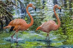 Phoenicopterus ruber (American flamingo / Flamenco del Caribe) (PriscillaBurcher) Tags: phoenicopterusruber americanflamingo caribbeanflamingo flamingo flamencodelcaribe phoenicopteridae avesdelcaribe aviarionacionaldecolombia cartagena colombia birdsofcolombia avesdecolombia l1340106