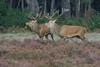 RVS_3302 (Ruud van Staveren) Tags: red deer edelhert veluwe rut bronst