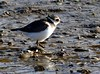 Ringed Plover 17.10 (ericy202) Tags: ringedplover juvenile brancasterstaithe charadriushiaticula