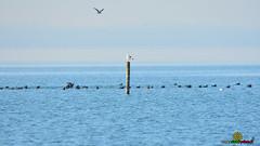 a_LUR_0114 (OrNeSsInA) Tags: aironi byrd uccelli natura airon cormorani folaghe trasimeno lago umbria lucarosi toscana passignano montedellago perugia insetti farfalle nikon tamron chiusi pesca tuoro castiglionedellago