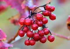 Red Winter berries. (pstone646) Tags: berries red bokeh nature dew colour stodmarsh kent flora closeup winter season tree fruits