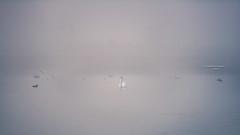 The way morning fog burns off the lake (Ingeborg Ruyken) Tags: dropbox autumn zonsopkomst sunrise dawn zwaan fall flickr herfst kanaalpark takeoff empel swan mist natuurfotografie 500pxs water eurasiancoot fog