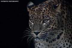 Sri lanka panther - Best Zoo (Mandenno photography) Tags: dierenpark dierentuin dieren animal animals bigcat big cat sri lanka panther ngc nederland netherlands nature