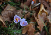 Late October Crocuses! (blondinrikard) Tags: crocus krokus flowers autumn botaniskaträdgårdenigöteborg botaniska göteborg blommor