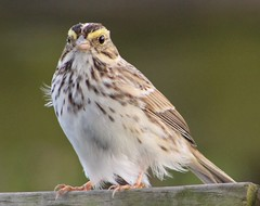 Savannah Sparrow. (c) 2017 Julie Zambory All Rights Reserved