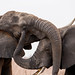 Swaziland - Elephant fight close up (Hlane National Park)