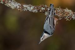 White-breasted Nuthatch (Joe Branco) Tags: songbirds nikon lightroomcc2017 photoshopcc2018 joebrancophotography whitebreastednuthatch branco joe birds wildlife green