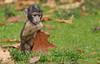 barbary macaque Apenheul BB2A9389 (j.a.kok) Tags: macaque barbarymacaque barbarymonkey macacasylvanus berberaap animal aap apenheul mammal zoogdier dier afrika africa macaca herfstkleuren autumncolors babymacaque