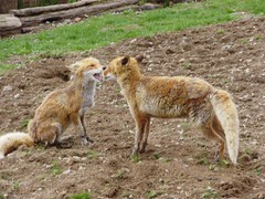 #fox https://t.co/wmujghlr8u (hellfireassault) Tags: foxes fox httpstcowmujghlr8u q foxlovebot september 22 2017 0400pm
