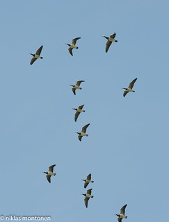 The Geese heading south