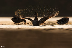 ''Maestro!!! Canard Colvert (pascaleforest) Tags: oiseau bird canard duck passion nikon nature contrejour wild wildlfe faune québec canada eau water goldenhour heuredorée automne