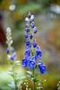 Oktoberhjelm / Aconite / Autumn bloom in the garden - Norway (Ingunn Eriksen) Tags: oktoberhjelm aconite autumn norway flower nikond750