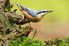 Boomklever - Sitta europaea (wimberlijn) Tags: boomklever sittaeuropaea standvogel zangvogel vogel natuur nationaleparkdehogeveluwe nuthatch statebird songbird bird wildlife nature animal outdoor coth5 sunrays5