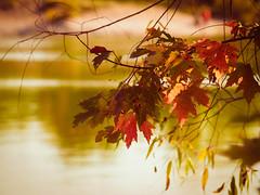 Fall Colours (ildikoannable) Tags: leaves fall auto autumn seasonchange red warm