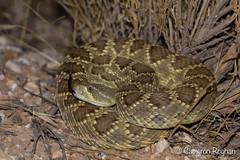 Mojave Rattlesnake (cameronrognan) Tags: mojaverattlesnake mojavedesert crotalusscutulatus