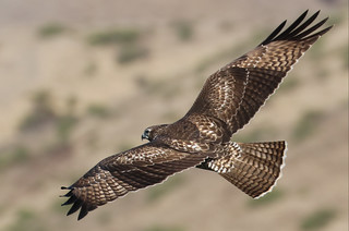 Buteo jamaicensis Red-tailed Hawk