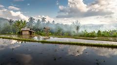 Rice field in Munduk, Bali, Indonesia (Bertrand P) Tags: nikond750 nikkor24120f4edvr landscape indonesia bali field