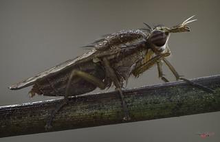 dual band eye fly
