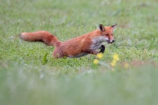 Renard roux (Vulpes vulpes) Red fox (explorer 2017-10-12)
