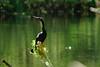 DSC01727.jpg (joe.spandrusyszyn) Tags: suliformes anhingidae americanalligator vertebrate nature darter snakebird osceolacountyenvironmental animal unitedstatesofamerica anhingaanhinga byjoespandrusyszyn florida bird kissimmee reptile alligatormississippiensis crocodilia alligatoridae alligator anhinga