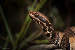 Florida Cottonmouth (Daniel R. Wakefield) Tags: florida cottonmouth venomous snake reptile animal wildlife creature creation dangerous watch your step photography nikon wild planet earth bbcearth natgeo