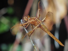 Dragonfly (piranhabros) Tags: tamron90mmmacro summer wings dragonfly insect animal