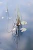 Nature's Poetry (diesmali) Tags: västragötalandslän sweden paradiset water grass straws reflection nature canoneos6d canonef24105mmf4lisusm