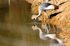 Photo of Blue Crowned Crane