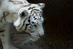 White Tiger #1