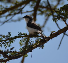 Gray-backed Fiscal (bartscott35) Tags: bird africa lifer laniidae shrike ele