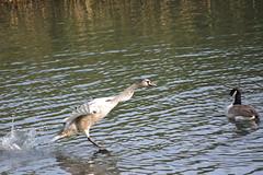 Steeplechase (1) (Caulker) Tags: sygnet goose pond aberford park 16102017
