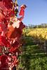 natures best (leaving-the-moon) Tags: 2017 201710 autumn blättter colors farben foliage goodlight herbst kraichgau natur nature season wein weinberg
