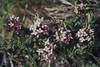 Daphne cneorum. Garland Flower. Heiligenblut (Mary Gillham Archive Project) Tags: 55447 austria daphnecneorum heiligenblut planttree garlandflower