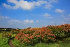 藍天與欒花(Koelreuteria elegans with blue sky)。 (Charlie 李) Tags: 5d3 canon blue sky autumn koelreuteriaelegans 台灣 台南市 台灣欒樹