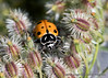 Snug (Gary Grossman) Tags: ladybug insect queenanneslace garygrossmanphotography flower ridgefield nationalwildliferefuge macro closeup pacificnorthwest washington