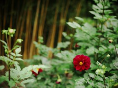 Bamboo and dahlia (sakemoge) Tags: 長居植物園 bamboo dahlia red