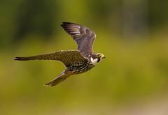 Hobby,falco subutteo (trevorwilson1607) Tags: hobby falcosubutteo falcon hawking raptor birdofprey hunter hunting fast aerobatic riveravon hampshire bird avian nikonsigmagear veryquick 400iso f45 5000thsec