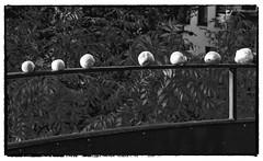 Karbolchampinjoner, min balkong, Cederbourgsgatan 5, Göteborg, Sverige, 2017-09-30. (Roland Berndtsson) Tags: 2017 cederbourgsgatan centralagöteborg göteborg innergård johanneberg karbolchampinjon land minlägenhet natur svamp sverige år