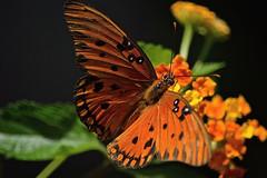BIG Orange (ACEZandEIGHTZ) Tags: gulffritillary nikon nature d3200 agraulis vanillae orange macro closeup blackspots lantana specanimal coth alittlebeauty coth5 sunrays5