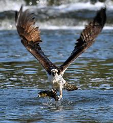 Balbuzard pêcheur  --- Osprey --- águila pescadora - 5/5 (Jacques Sauvé) Tags: balbuzard pêcheur osprey águila pescadora