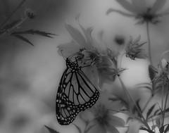 MonarchButterfly_SAF1439 (sara97) Tags: danausplexippus butterfly copyright©2017saraannefinke endangered insect missouri monarch monarchbutterfly nature outdoors photobysaraannefinke pollinator saintlouis towergrovepark monochrome bw blackandwhite blackwhite