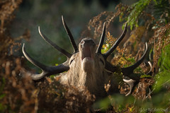 Close Encounter 2 (Sue MacCallum-Stewart) Tags: reddeer richmondpark stag nature wildlife rut autumn deer surrey bracken