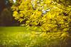 Yellow | Autumn 2017 | Kaunas #277/365 (A. Aleksandravičius) Tags: yellow autumn 2017 kaunas kaunas2022 lietuva leaves park lithuania nikon nikond750 d750 135mm 135mmf2d nikon135f2 nikon135mmf2dc 135 nikon135mm nikonafdcnikkor135mmf2d nikkor135 nikkor 365days 3652017 nikkor135mm 365 project365 277365